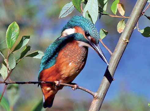 Kingfisher by Steve Carter